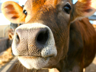 Researchers Find HIV-Prevention Help From Cows' Milk